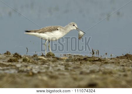 Common Greenshank With A Fish