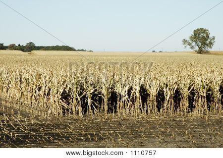 Corn Field 7