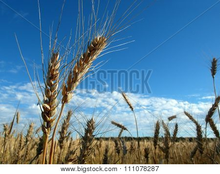 Two spikelets on the background of field and blue sky