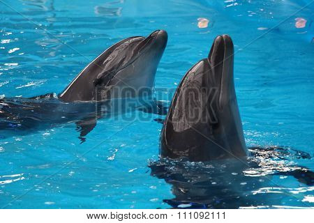 A Pair Of Dolphins