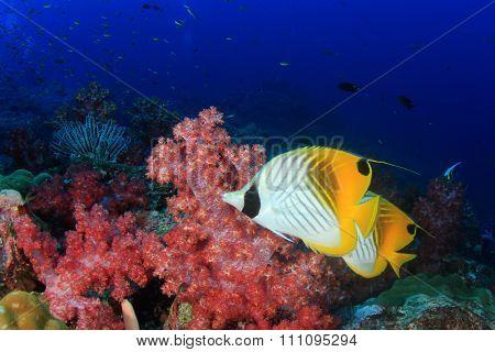 Underwater coral reef and fish: Threadfin Butterflyfish