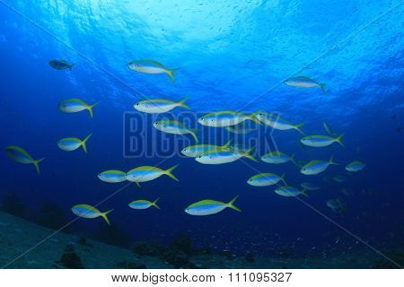 Underwater coral reef and fish: Fusilier school
