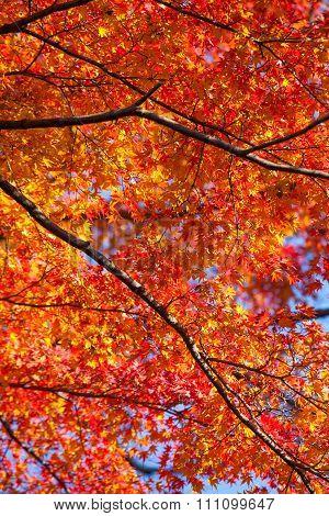Red Maple leaves, Autumn season in Japan.