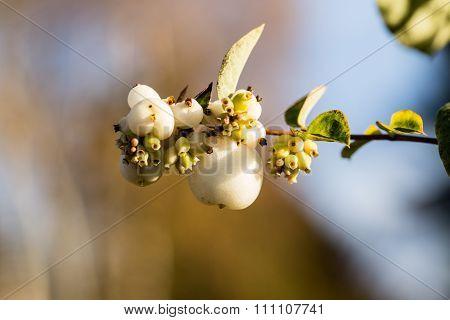 Symphoricarpos Albus - White Snowberry