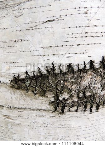Bark of birch,  species of Karelian, Betula pendula var. Carelica