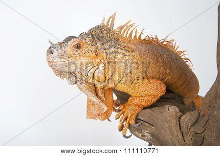 Common Iguana (red Morph) Close-up..