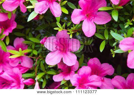 Pink Satsuki azalea blooming(Azalea Rhododendron)