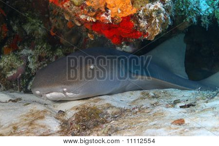Tubarão enfermeiro (Ginglymostoma cirratum) - Cozumel, México