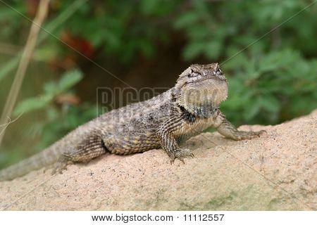 Desert Spiny Lizard (Sceloporus magister) - Sonoran Desert, Arizona