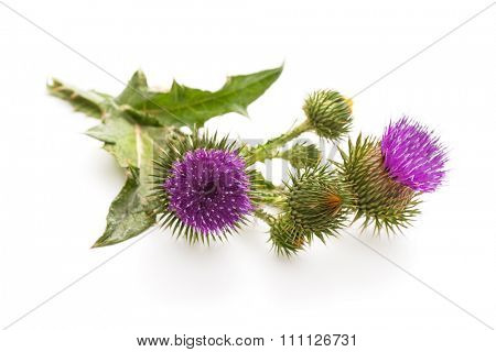 Milk Thistle plant (Silybum marianum) herbal remedy. Scotch thistle, Cardus marianus, Blessed milk thistle, Marian Thistle, Mary Thistle, Saint Mary's Thistle