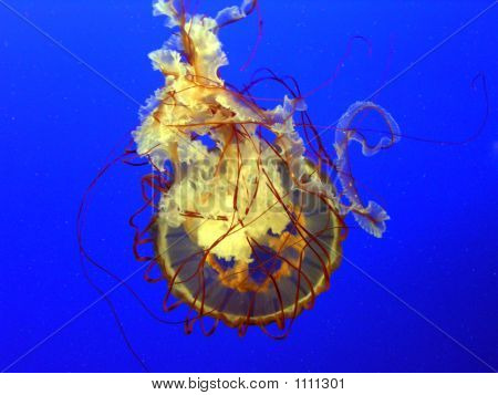 sea nettle jellyfish taken from below the jellyfish as it swam upwards. poster