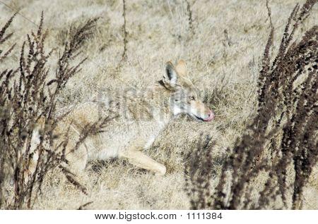 Coyote Pct0018