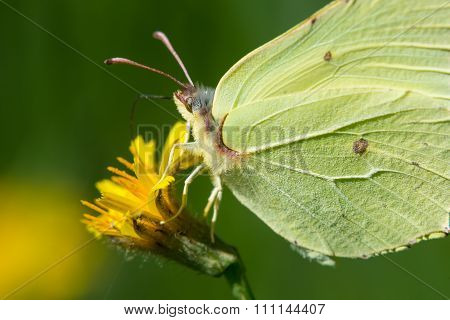 Butterfly On Yellow Flower Collects Nectar