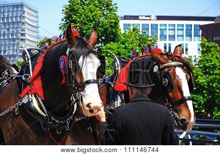 Shire horses and handler, Liverpool.