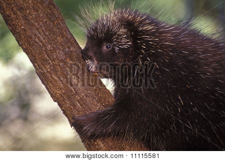 North American porcupine climbing a small tree. poster
