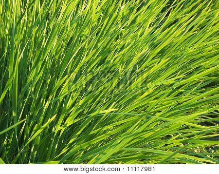 Green Grass 03
