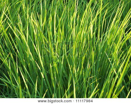 Green Grass 04
