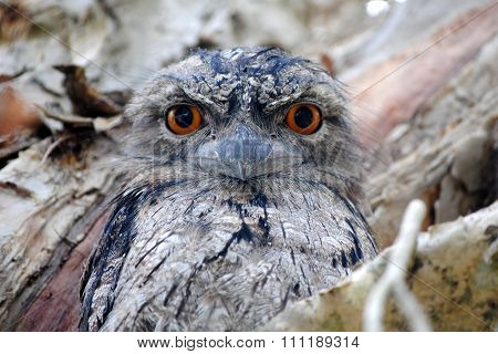 Tawny Frogmouth sitting in a tree