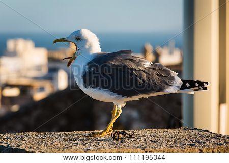 Yawning Seagull In Essaouira, Morocco.
