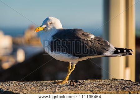 Suspicious Seagull In Essaouira, Morocco.