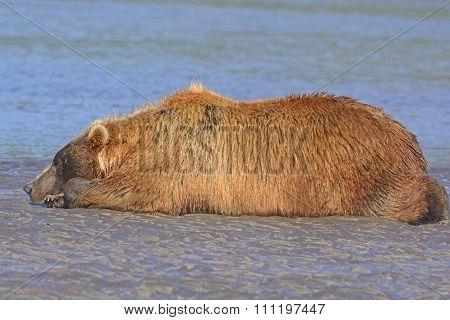 Bear Sleeping On A Sand Bar After A Good Meal
