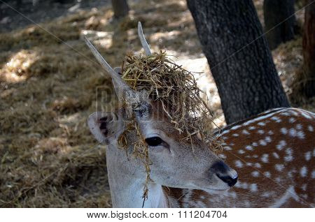 Portrait of a Whitetail Deer fawn
