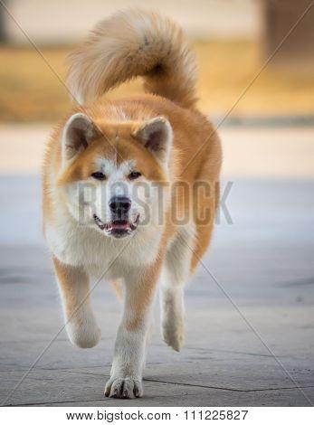 Shiba-Inu Japanese Dog Portrait. Young Akita Inu Dog Looking for