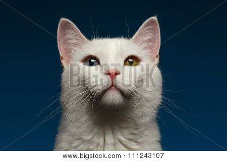 Closeup White Cat With  Heterochromia Eyes On Blue