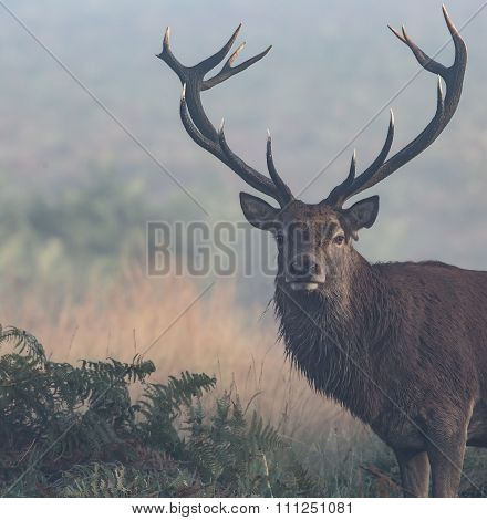 Red Deer Stag with large antlers