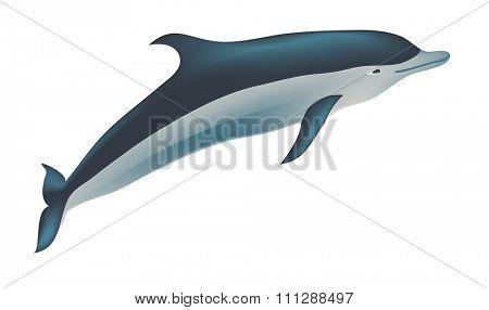 Dolphin illustration, isolated on white