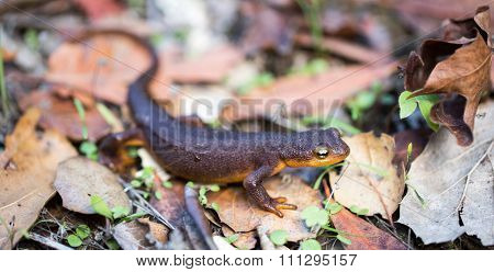 California Newt, Taricha torosa,  in Leaves