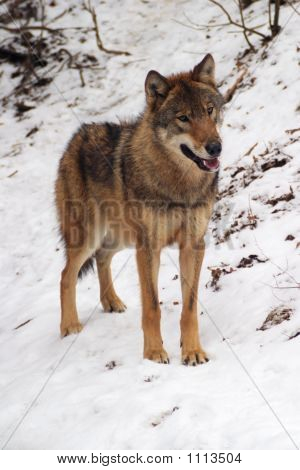 gray wolf in a winter canis lupus lupus poster