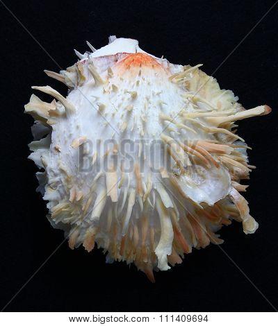 Spondylus thorny oyster