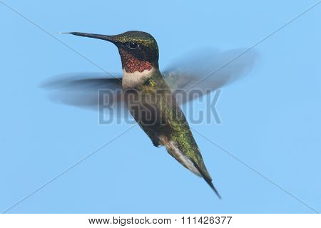 Ruby-throated Hummingbird (archilochus Colubris)