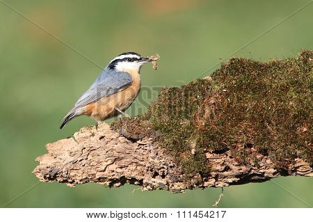 Red-breasted Nuthatch On A Log