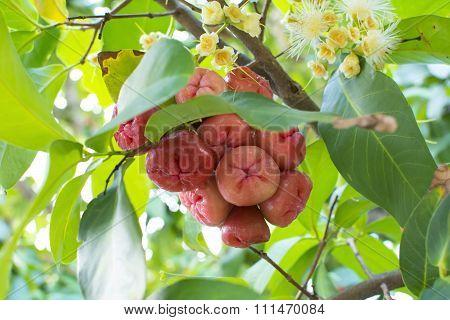 Syzygium Jambos Wax Apples On Tree