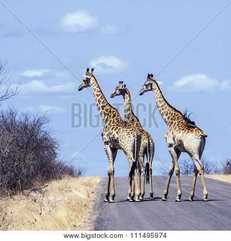 group of Giraffes on the road In Kruger National Park