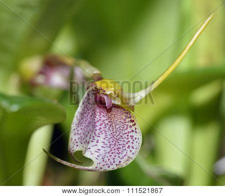 Wagener's Masdevallia Orchid