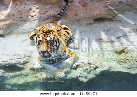 Picture of a bengal tiger near the water poster