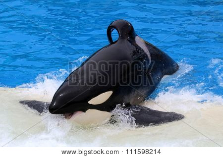 SAN DIEGO, CA - JUNE 18, 2015: SeaWorld San Diego Killer Whale (orca) Exhibit.