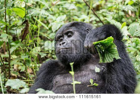 Sulky gorilla