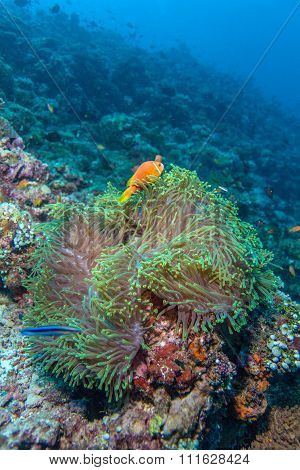 Pair Of Clown Fishes Near Anemone