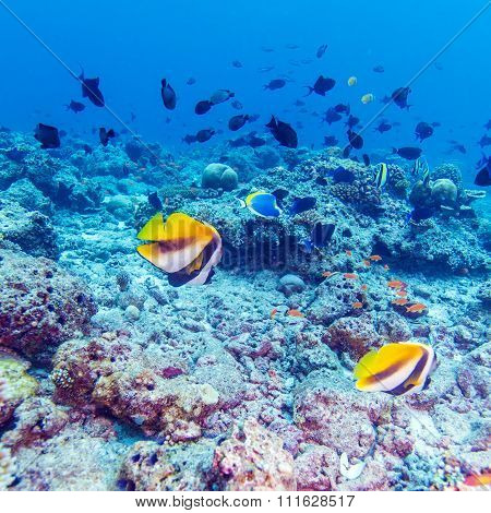Pair Of Banner Fishes Near Coral, Maldives