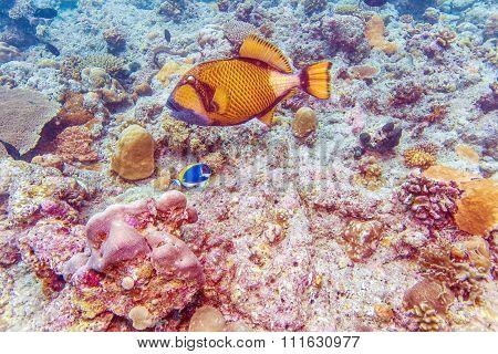 Big Trigger Fish Near Corals, Maldives