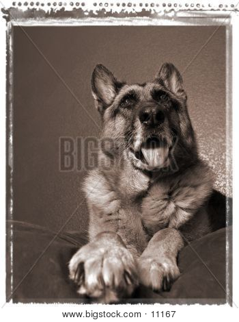 poster of German Shepherd On Bed, Resting Dog, Relaxing pet