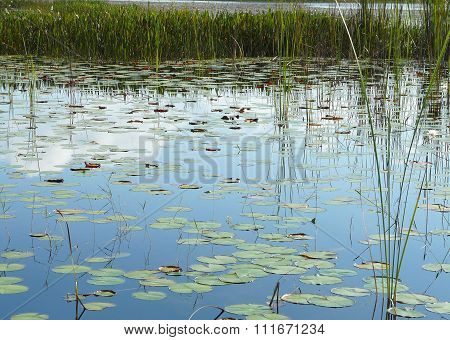 Lily Pads And Marsh Vegetation