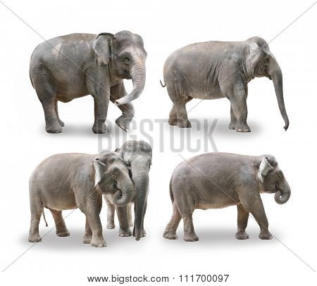 Elephants in white background