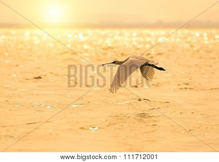 Black-faced Spoonbill