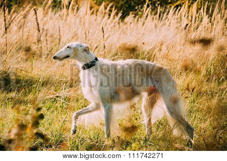 White Russian Borzoi or gazehound hunting running in meadow.