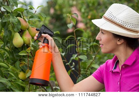 Gardener applying an insecticide/a fertilizer to his fruit shrubs, using a sprayer
